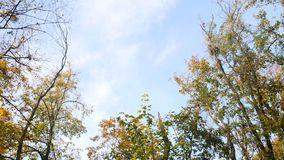 Motion through golden autumn leaves falling from trees in slow motion against bright sunny sky background.  stock footage