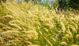 Motion grass flowering blowing in the wind Stock Photography