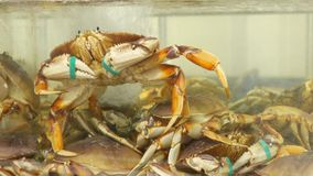 Motion of live crabs in the tank. At superstore stock video footage
