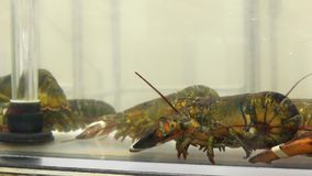 Motion of live lobster in the tank stock video footage