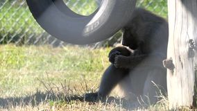 Motion of monkey eating banana on grass at zoo. In BC Canada stock video