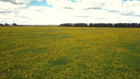 Motion over fantastic dandelion field under cloudy sky. Aerial motion over fantastic huge field with blooming bright yellow dandelion flowers to forest on nasty stock video