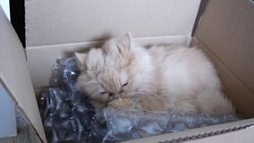 Motion of persian cat cleaning her palm. Inside box stock footage