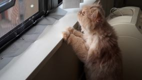 Motion of persian cat climbing and looking through window. At home stock footage