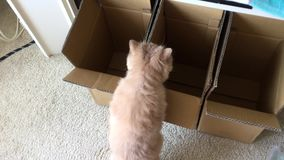 Motion of persian cat hesitating to jump which box. At home stock video
