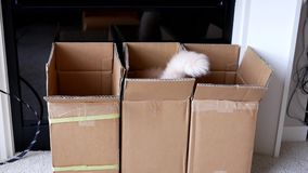 Motion of persian cat jumping into a box. At home stock footage