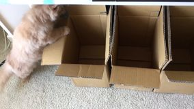 Motion of persian cat jumping to box. At home stock footage