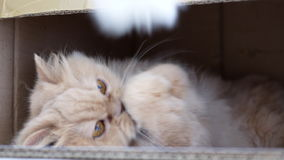 Motion of persian cat paying toy. Inside box stock footage