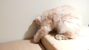 Motion of persian cat playing toy on box at home. In BC Canada stock video footage