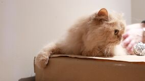 Motion of persian cat playing toy with people on box stock video footage