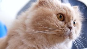 Motion of persian cat sitting on floor. And watching people stock video