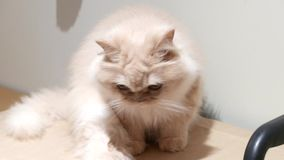 Motion of persian cat staring at people on box. In BC Canada stock video
