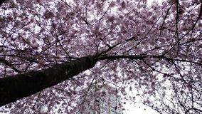 Motion of pink cherry flowers blooming in springtime. In Burnaby BC Canada stock video