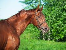 Motion portrait of chestnut Trakehner stallion. Sunny Royalty Free Stock Photo