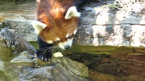 Motion of red panda is walking on the tree stock footage