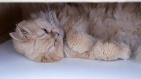 Motion of sleeping persian cat stock footage