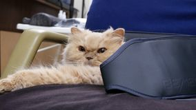 Motion of sleepy persian cat on chair while doing Bemer therapy at home. With 4k resolution stock video