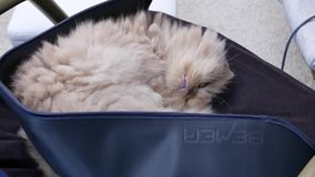 Motion of sleepy persian cat on chair while doing Bemer therapy at home. With 4k resolution stock footage