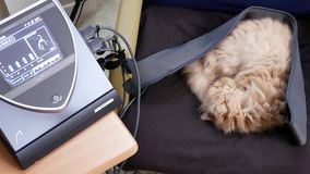 Motion of sleepy persian cat on chair while doing Bemer therapy at home