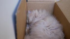 Motion of sleepy persian cat inside box stock footage