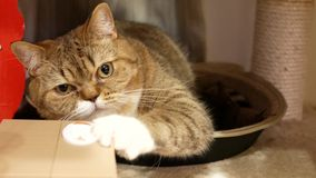 Motion of tabby cat playing toy on floor at home. With 4k resolution stock video footage