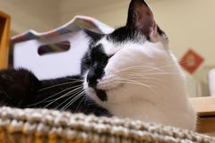 Motion of tabby cat sleepy on her bed at home. In Taiwan royalty free stock photo