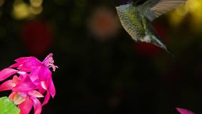 A motion timelapse footage of hummingbird with beautiful feather