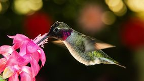 Motion timelapse video of a hummingbird visits pink flower with dew drops