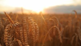 Motion, wheat, sun stock video footage