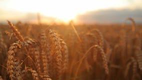 Motion, wheat, sun stock video footage