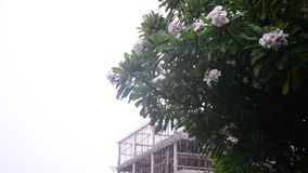 Motion of wind and rain storm. With Frangipani and Plumeria flower in Nonthaburi Province Thailand stock video