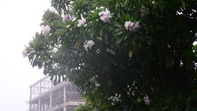 Motion of wind and rain storm. With Frangipani and Plumeria flower in Nonthaburi Province Thailand stock footage