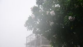 Motion of wind and rain storm. With Frangipani and Plumeria flower in Nonthaburi Province Thailand stock video footage
