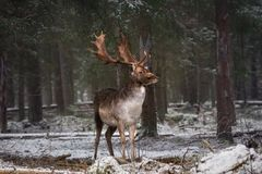 Motionless Gorgeous Fallow Deer Buck In Winter Forest. Adult Deer With Huge Horns Looks To The Right. Winter Wildlife Landscape W stock photography