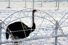Motivos do inverno da avestruz e da neve Fotografia de Stock
