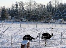 Motivos do inverno da avestruz e da neve Fotografia de Stock Royalty Free
