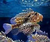 motley рыб Стоковое фото RF