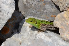 Motley beige-green lizard between rocks Stock Photos