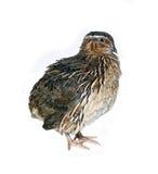 Motley big quail. Isolated on white background Royalty Free Stock Image