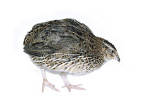 Motley big quail isolated Stock Photography