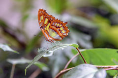 Motley butterfly on a orchid leaf. Close-up Stock Photography