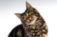 Motley cat. Posing on a white background royalty free stock photo