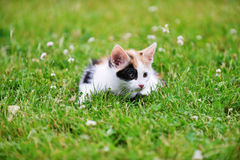 Motley cat. Playing on green grass Stock Images