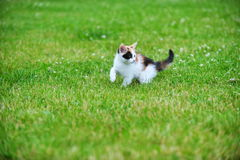 Motley cat. Playing on green grass Royalty Free Stock Photo