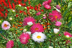 Motley colourful asters. And other flowers in the flowerbed. Fine sunny day Royalty Free Stock Photography