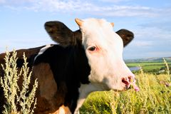 Motley cow Royalty Free Stock Photography