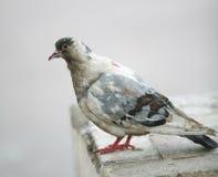 Motley Dove. Bird, Town Motley Dove, Ornithology Royalty Free Stock Image