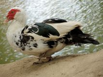 The motley duckling Royalty Free Stock Photography