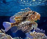 Motley fish Royalty Free Stock Photo
