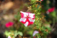 Motley, flores brancas vermelhas listradas Fotos de Stock